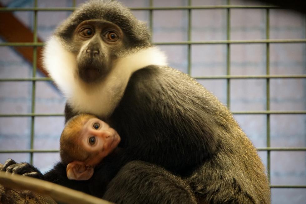 Nowy mieszkaniec wrocławskiego zoo - afrykańska małpa, która lubi śnieg